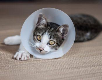 La stérilisation des chats