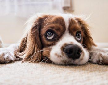 Est-ce que je peux adopter un chien en appartement ?