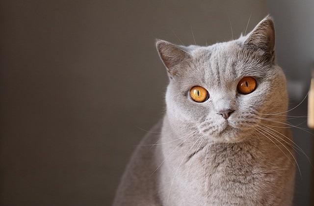 chat gris avec les yeux orange