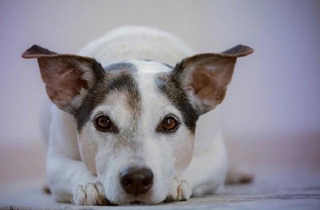 chien couché avec les oreilles en l'air